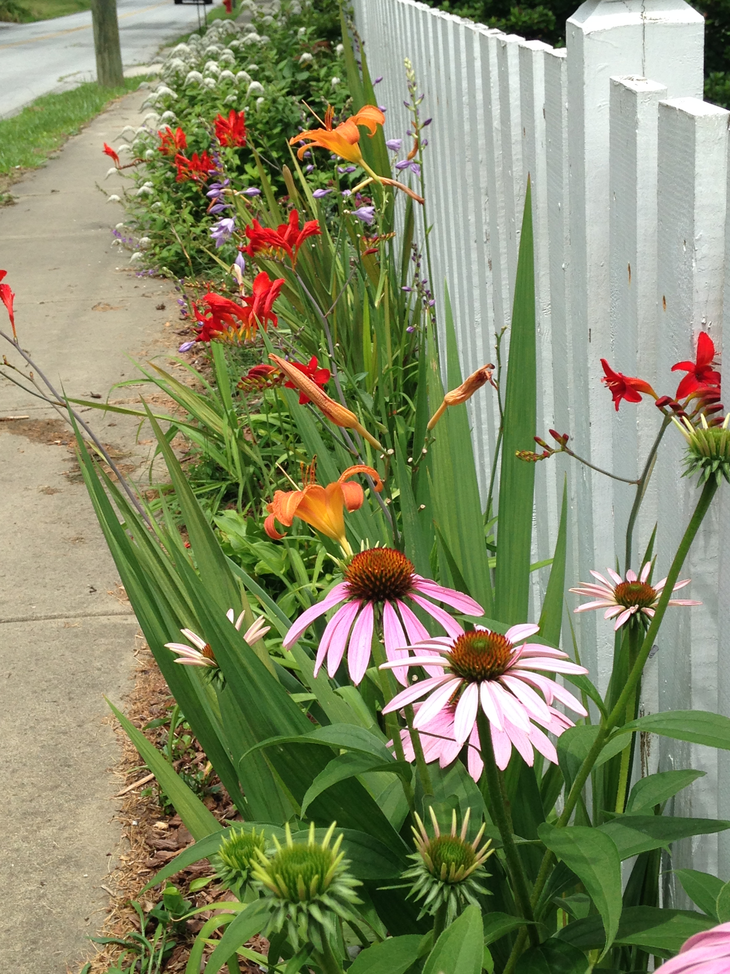 Summer blooms along picket fence